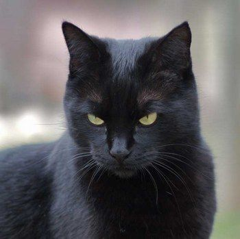 chat-noir-mignon
